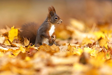 Squirrel (Sciurus vulgaris) standing upright in autumn leaves, Germany, Europe