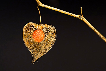 Bladder cherry (Physalis alkekengi), net structure of the calyx and fruit of the Jewish cherry, Hesse, Germany, Europe