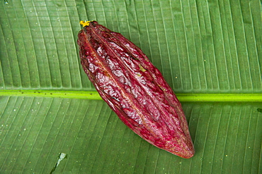 The cocoa bean, also cacao bean (Theobroma cacao), Plantation Roca Monte Cafe, Sao Tome, Sao Tome and Principe, Atlantic ocean, Africa