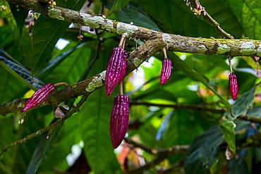 Young cocoa beans, also cacao beans (Theobroma cacao), Plantation Roca Monte Cafe, Sao Tome, Sao Tome and Principe, Atlantic ocean, Africa