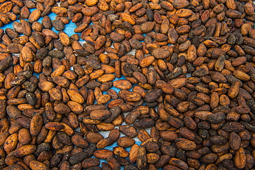 Drying cocoa beans, Plantation Roca Monte Cafe, Sao Tome, Sao Tome and Principe, Atlantic ocean, Africa