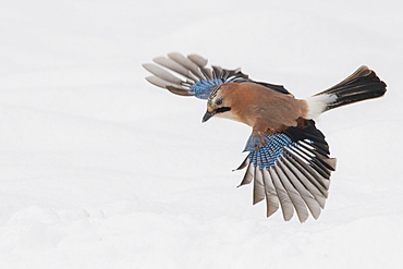 Eurasian jay (Garrulus glandarius) in flight, winter, snow, feeding, Germany, Europe