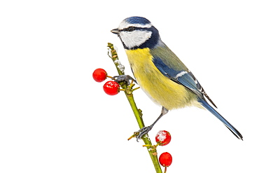Blue tit (Cyanistes caeruleus) (Syn.: Parus caeruleus) in winter on a branch with red berries, Germany, Europe