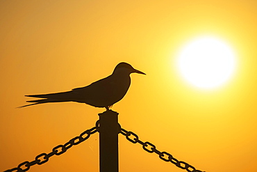 Arctic tern (Sterna paradisaea) sitting on a fence, silhouette, sunset, Eidersperrwerk, Toenning, Schleswig-Holstein, Germany, Europe