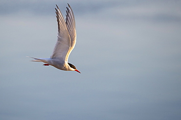 Arctic tern (Sterna paradisaea) in flight, Eidersperrwerk, Toenning, Schleswig-Holstein, Germany, Europe