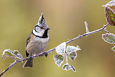 Crested tit (Parus cristatus), sitting on a blackberry vine, Tyrol, Austria, Europe