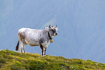 Cow on the mountain pasture, Tyrolean grey cattle, Salfeins-Alm, Stubai Alps, Tyrol, Austria, Europe