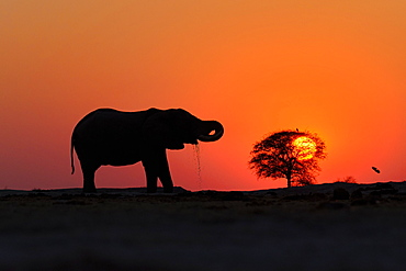 African elephant (Loxodonta africana) drinking water at sunset in Nxai National Park, Botswana, Africa