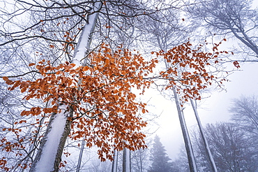 Beeches in the snow, Geo-Naturpark Frau-Holle-Land, Hesse, Germany, Europe