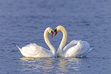 Two Mute swans (cygnus olor) swimming mating on the Rhine, Germany, Europe