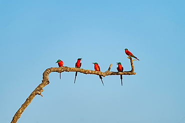 Crimson pints (Merops nubicoides) sitting on branch, Zambia, Africa