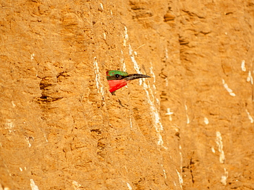 Southern carmine bee-eater (Merops nubicoides), Crimson pint looking out of breeding cave, Zambia, Africa