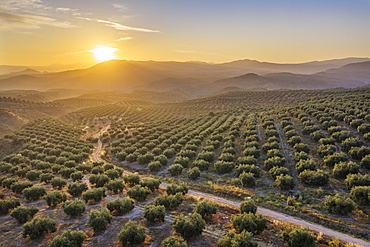 Cultivated olive trees (Olea europaea) at sunrise, aerial view, drone shot, Cordoba province, Andalusia, Spain, Europe