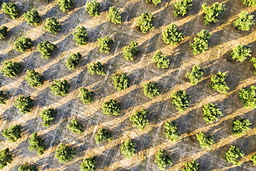 Cultivated olive trees (Olea europaea), aerial view, drone shot, Cordoba province, Andalusia, Spain, Europe