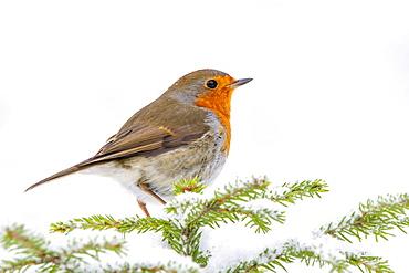 European robin (Erithacus rubecula), sitting on a spruce tree in winter, Terfens, Tyrol, Austria, Europe