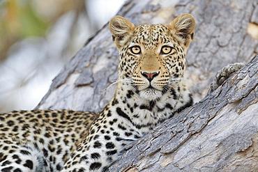 Leopard, (Panthera pardus) in a tree, portrait, Okavango Delta, Botswana, Africa