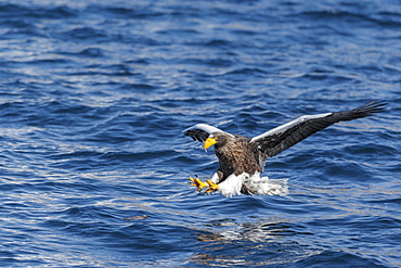 Steller's sea eagle (Haliaeetus pelagicus) in flight in Rausu, Hokkaido, Japan, Asia