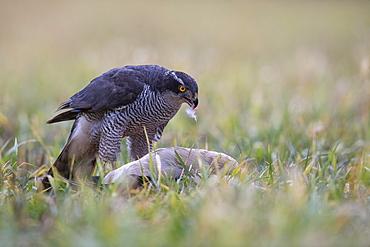 Northern goshawk (Accipiter gentilis) crows Egyptian goose (Alopochen aegyptiaca), Bitburg, Rhineland-Palatinate, Steinborn