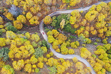 Sweet chestnut trees (Castanea sativa) in autumnal colours, aerial view, drone shot, Genal river valley, Malaga province, Andalusia, Spain, Europe