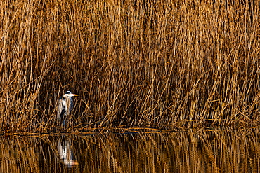 A grey heron (Ardea cinerea) stands at the reed edge in the sun, North Rhine-Westphalia, Germany, Europe