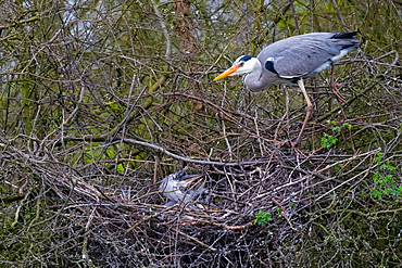 A Grey heron (Ardea cinerea) standing on branches at the nest, North Rhine-Westphalia, Germany, Europe