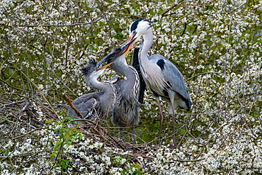 A Grey heron (Ardea cinerea) feeding its offspring, North Rhine-Westphalia, Germany, Europe