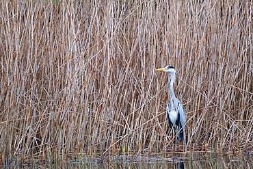 A grey heron (Ardea cinerea) on the edge of a reed, North Rhine-Westphalia, Germany, Europe