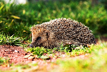 European Hedgehog, Common Hedgehog, Hedgehog, Erinaceus europaeus, Devon, England, Great Britain