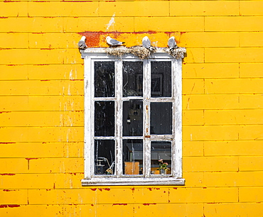 Nesting gulls on white window frame, yellow house wall, Lofoten, Norway, Norway, Europe