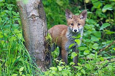Red fox (Vulpes vulpes), puppy, Hesse, Germany, Europe