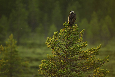 Western osprey (Pandion haliaetus) sitting on pine tree in moorland, Kainuu, Finland, Europe