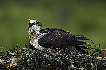 Western osprey (Pandion haliaetus) covering two young birds on eyrie, Kainuu, Finland, Europe