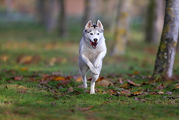 Siberian husky (Canis lupus familiaris), adult, female, running, sled dog, Rhineland-Palatinate, Germany, Europe