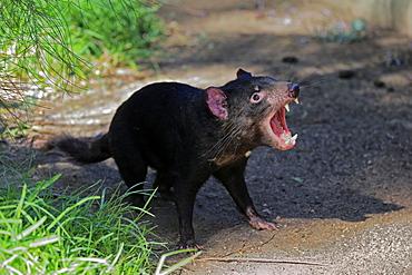 Tasmanian devil (Sarcophilus harrisii), Tasmanian devil, adult threatening, Cuddly Creek, South Australia, Australia, Oceania