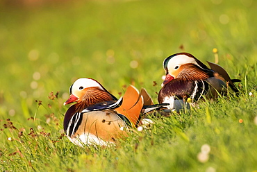 Mandarin ducks (Aix galericulata) in a meadow, pair of animals, Hesse, Germany, Europe