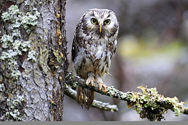 Tengmalm's owl (Aegolius funereus), adult, on tree, alert, Bohemian Forest, Czech Republic, Europe