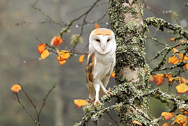 Common barn owl (Tyto alba), adult, alert, in autumn, on tree, Bohemian Forest, Czech Republic, Europe