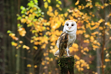 Common barn owl (Tyto alba), adult, alert, in autumn, waiting, Bohemian Forest, Czech Republic, Europe