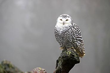 Snowy owl (Nyctea scandiaca), adult, alert, on tree trunk, in autumn, Bohemian Forest, Czech Republic, Europe