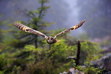 Long-eared owl (Asio otus), adult, flying, autumn, Bohemian Forest, Czech Republic, Europe