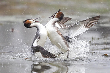 Great crested grebes (Podiceps cristatus) fighting, fight over territory, Hesse, Germany, Europe