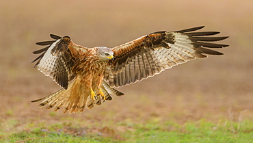 Red kite (Milvus milvus), in flight landing in a meadow, Extremadura, Spain, Europe
