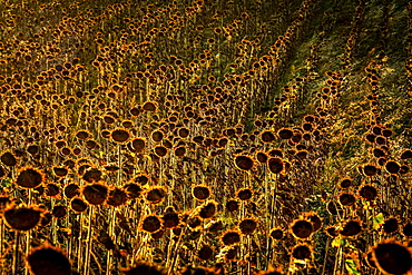 Field of faded sunflowers, Auvergne-Rhone-Alpes, France, Europe