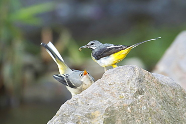 Grey wagtail (Motacilla cinerea) feeding young bird, Hesse, Germany, Europe