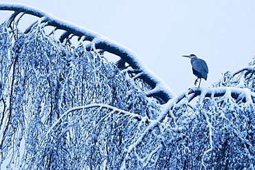 Grey heron (Ardea cinerea) standing on a snow-covered tree, Hesse, Germany, Europe