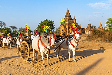 Colouful decorated ox carts, Bagan, Myanmar, Asia