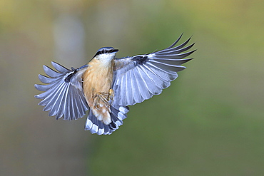 Eurasian nuthatch (Sitta europaea) in flight, North Rhine-Westphalia, Germany, Europe
