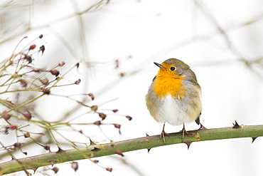 European robin (Erithacus rubecula) sitting on rosebush, Hesse, Germany, Europe