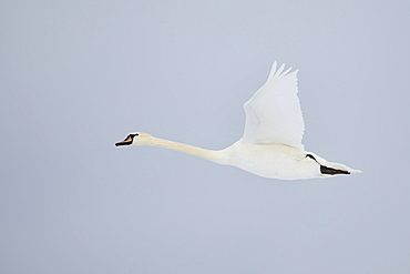 Mute swan (Cygnus olor), Flying, Bavaria, Germany, Europe