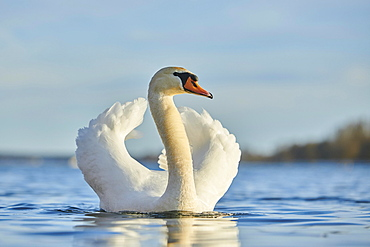 Mute swan (Cygnus olor) swimming on donau river, Bavaria, Germany, Europe
